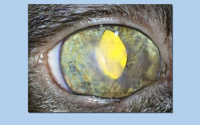 Tamara Estepona - Oftalmología veterinaria - A los tres meses de la cirugía