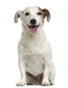 Imagen de un perro Jack Russell