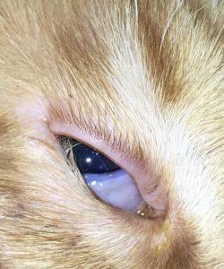 Imagen del ojo de un gato con entropión