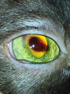 Imagen del ojo de un gato con secuestro corneal